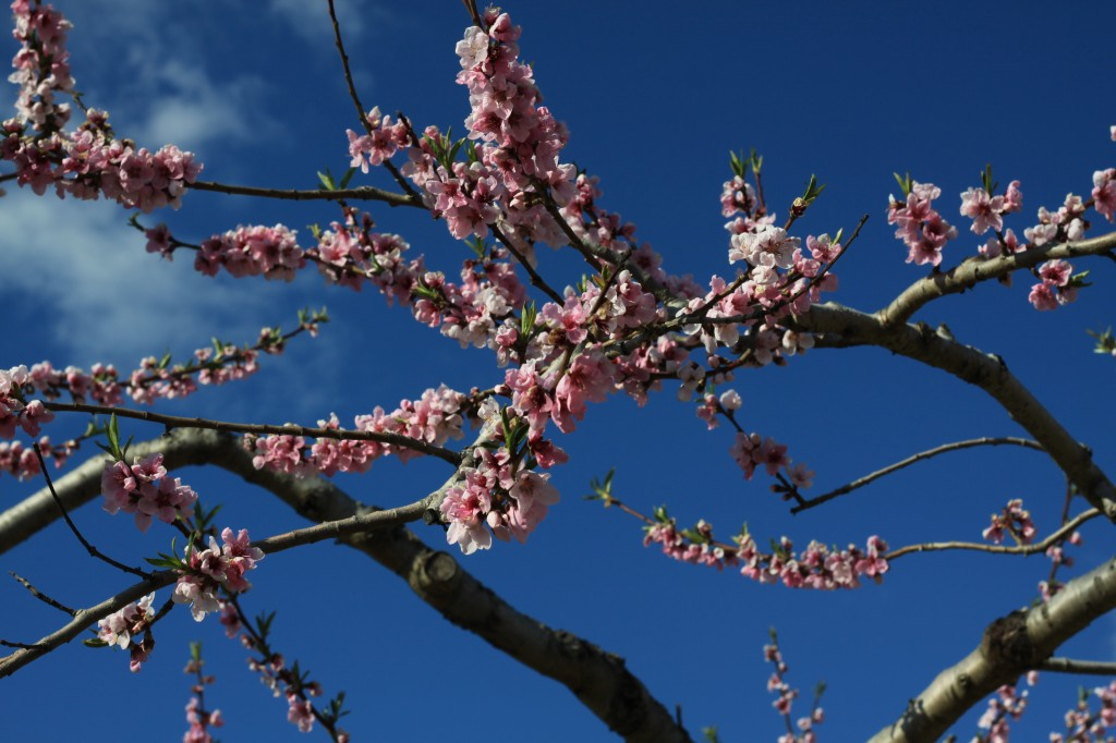 桃の花 アップ