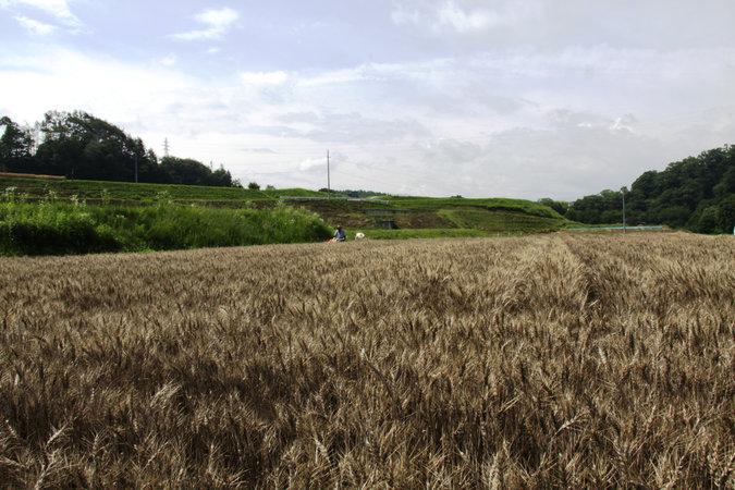 1小麦収穫体験ほ場1