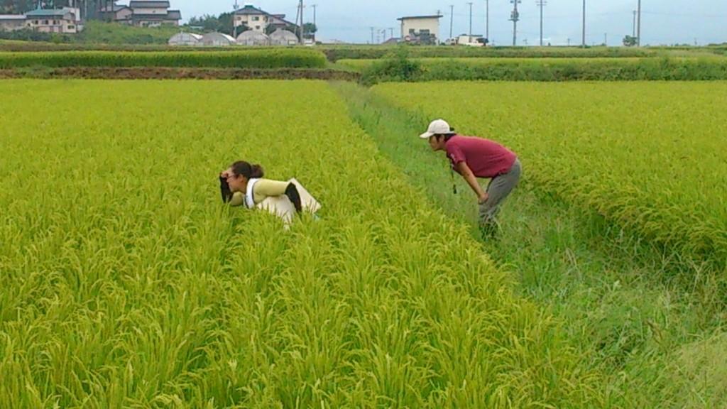 雑草稲(赤米)調査2
